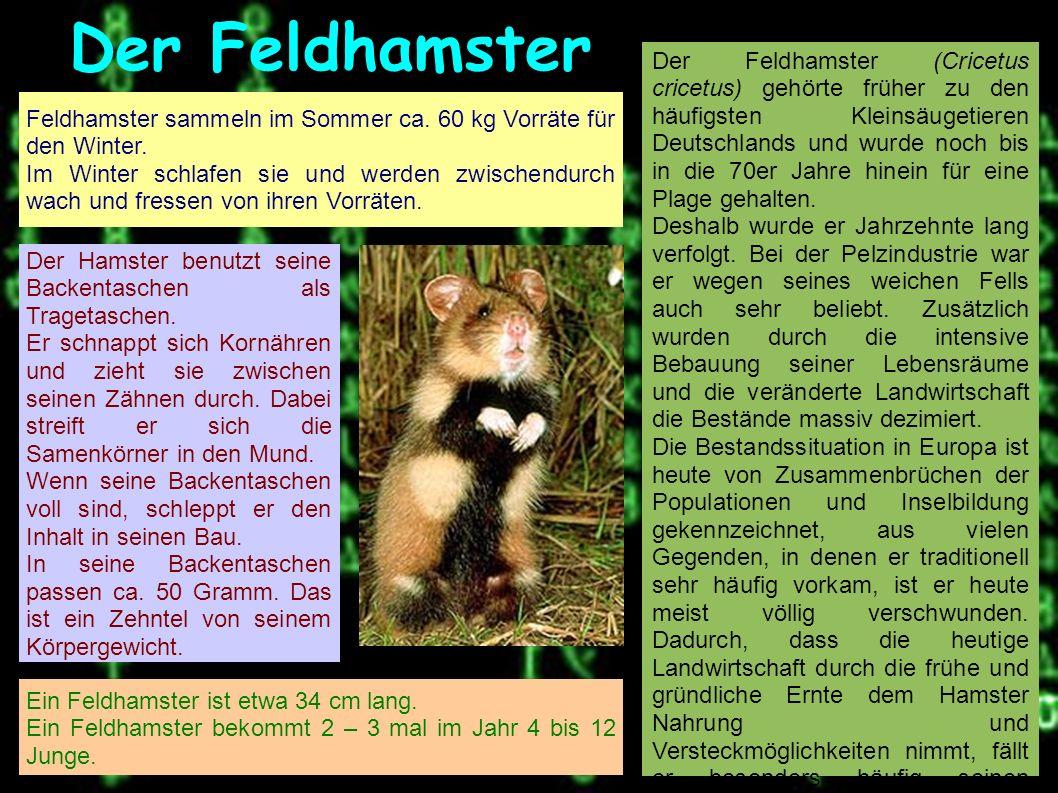 Der Feldhamster Feldhamster sammeln im Sommer ca. 60 kg Vorräte für den Winter.