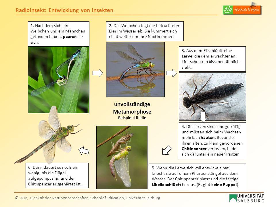 RadioInsekt: Entwicklung von Insekten © 2016, Didaktik der Naturwissenschaften, School of Education, Universität Salzburg unvollständige Metamorphose