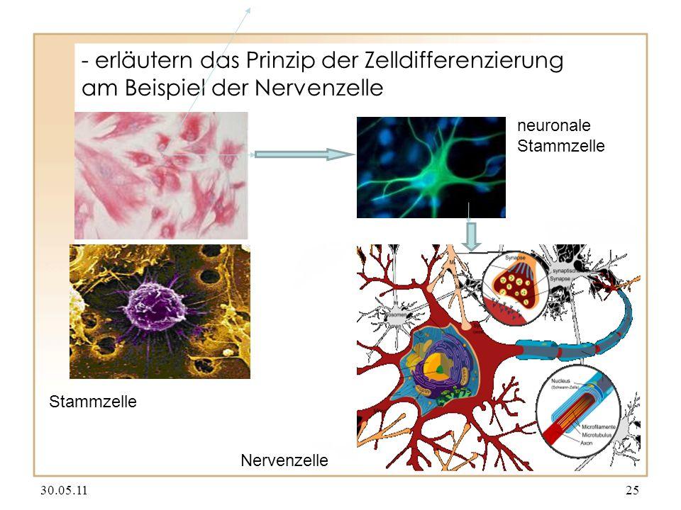 - erläutern das Prinzip der Zelldifferenzierung am Beispiel der Nervenzelle 30.05.1125 Stammzelle neuronale Stammzelle Nervenzelle