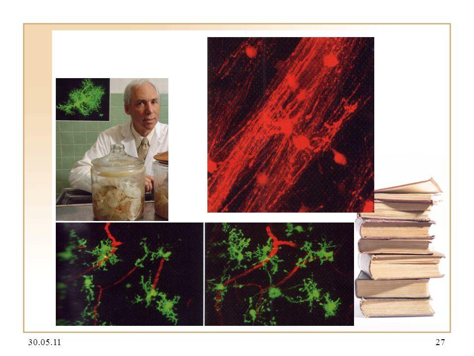 30.05.1128 Spannungssensitive Farbstoffe Filiforme Haare (rot) und ihre postsynaptischen Zielneurone (grün) im Brustganglion der Wanderheuschrecke lat.