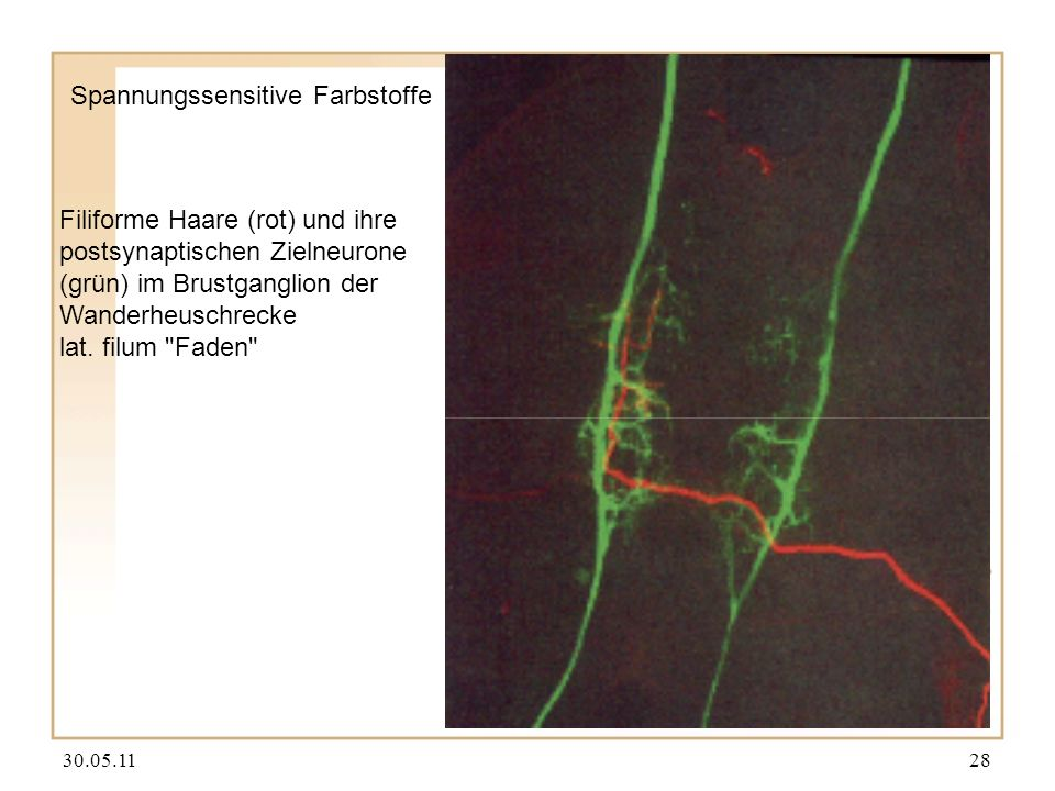 30.05.1128 Spannungssensitive Farbstoffe Filiforme Haare (rot) und ihre postsynaptischen Zielneurone (grün) im Brustganglion der Wanderheuschrecke lat