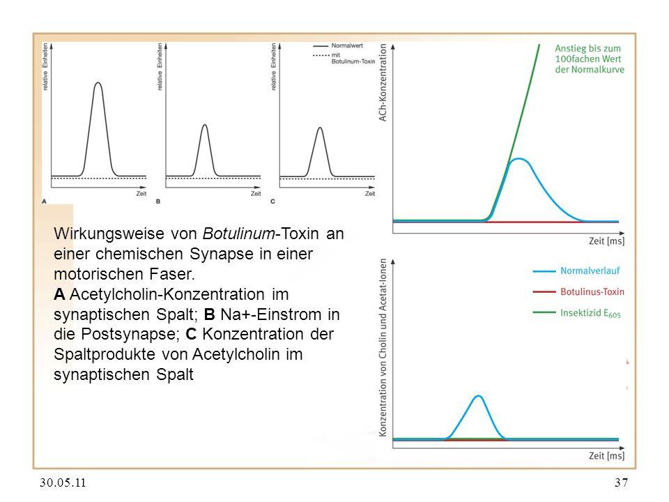 30.05.1137 Wirkungsweise von Botulinum-Toxin an einer chemischen Synapse in einer motorischen Faser. A Acetylcholin-Konzentration im synaptischen Spal