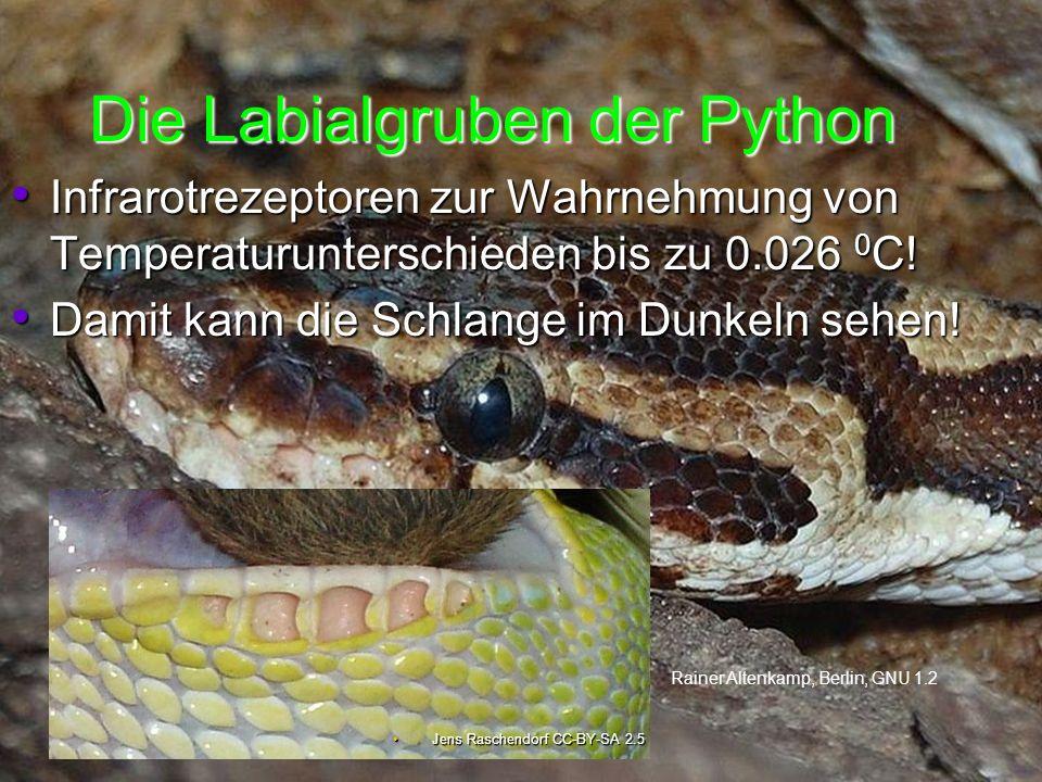 Die Labialgruben der Python Jens Raschendorf CC-BY-SA 2.5Jens Raschendorf CC-BY-SA 2.5 Infrarotrezeptoren zur Wahrnehmung von Temperaturunterschieden bis zu 0.026 0 C.