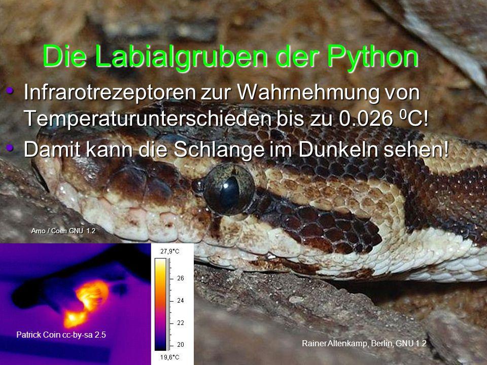 Die Labialgruben der Python Rainer Altenkamp, Berlin, GNU 1.2 Arno / Coen GNU 1.2 Infrarotrezeptoren zur Wahrnehmung von Temperaturunterschieden bis zu 0.026 0 C.