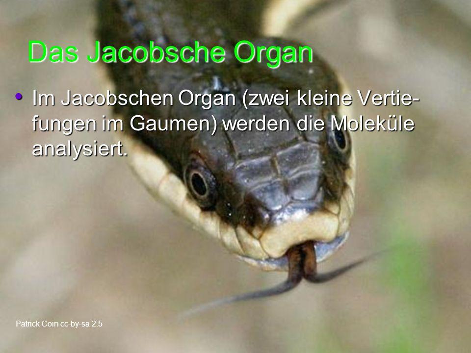 Das Jacobsche Organ Im Jacobschen Organ (zwei kleine Vertie- fungen im Gaumen) werden die Moleküle analysiert.