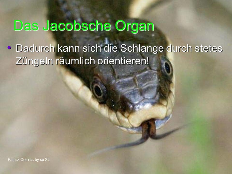 Das Jacobsche Organ Dadurch kann sich die Schlange durch stetes Züngeln räumlich orientieren.