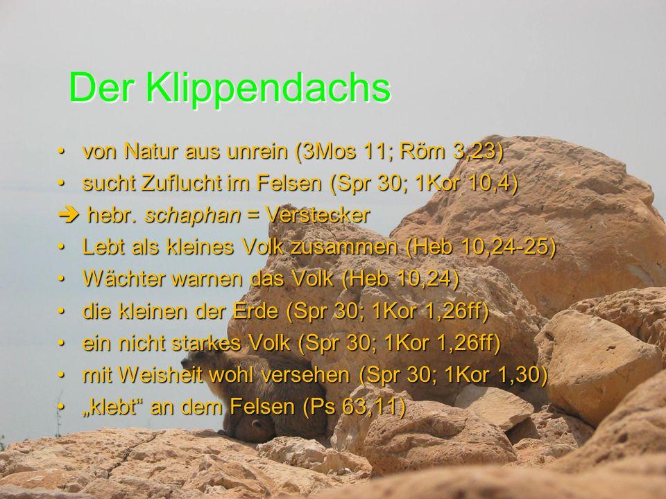 Der Klippendachs von Natur aus unrein (3Mos 11; Röm 3,23)von Natur aus unrein (3Mos 11; Röm 3,23) sucht Zuflucht im Felsen (Spr 30; 1Kor 10,4)sucht Zuflucht im Felsen (Spr 30; 1Kor 10,4)  hebr.