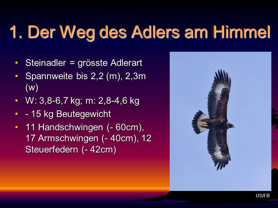 1. Der Weg des Adlers am Himmel Steinadler = grösste AdlerartSteinadler = grösste Adlerart Spannweite bis 2,2 (m), 2,3m (w)Spannweite bis 2,2 (m), 2,3