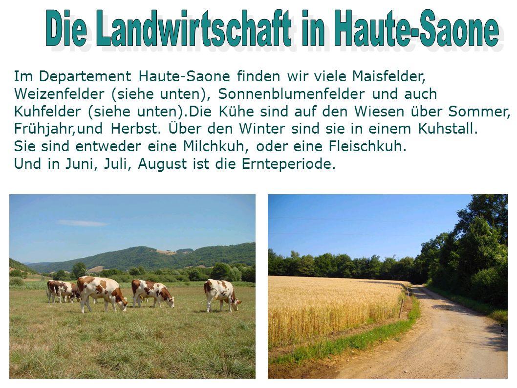 Im Departement Haute-Saone finden wir viele Maisfelder, Weizenfelder (siehe unten), Sonnenblumenfelder und auch Kuhfelder (siehe unten).Die Kühe sind auf den Wiesen über Sommer, Frühjahr,und Herbst.