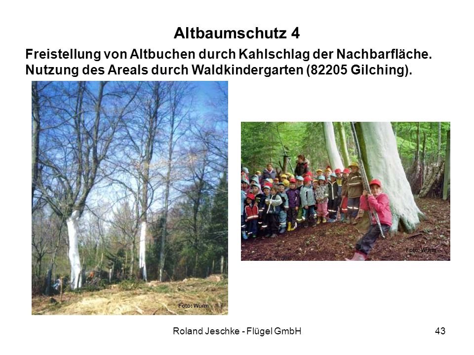 Roland Jeschke - Flügel GmbH43 Altbaumschutz 4 Freistellung von Altbuchen durch Kahlschlag der Nachbarfläche. Nutzung des Areals durch Waldkindergarte