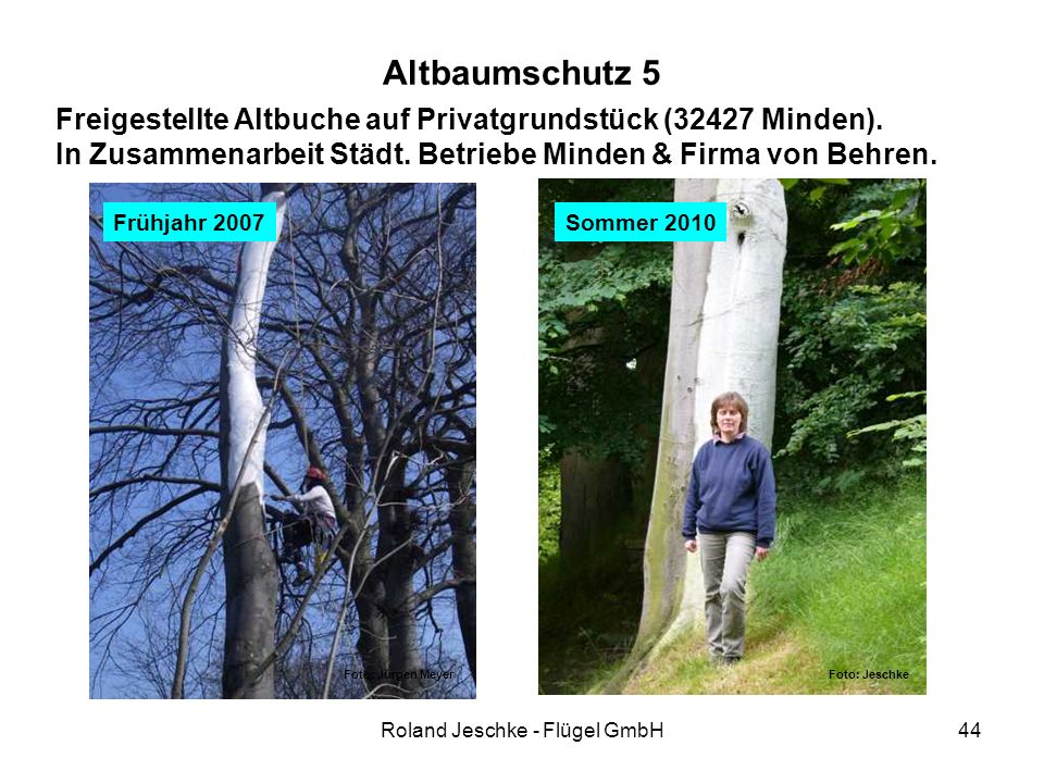 Roland Jeschke - Flügel GmbH44 Altbaumschutz 5 Freigestellte Altbuche auf Privatgrundstück (32427 Minden). In Zusammenarbeit Städt. Betriebe Minden &