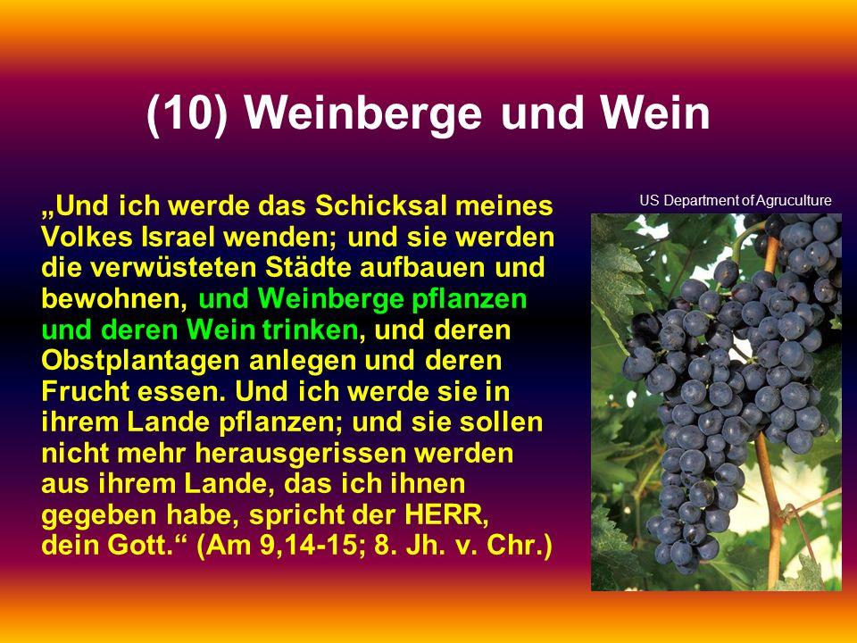 """(10) Weinberge und Wein """"Und ich werde das Schicksal meines Volkes Israel wenden; und sie werden die verwüsteten Städte aufbauen und bewohnen, und Weinberge pflanzen und deren Wein trinken, und deren Obstplantagen anlegen und deren Frucht essen."""