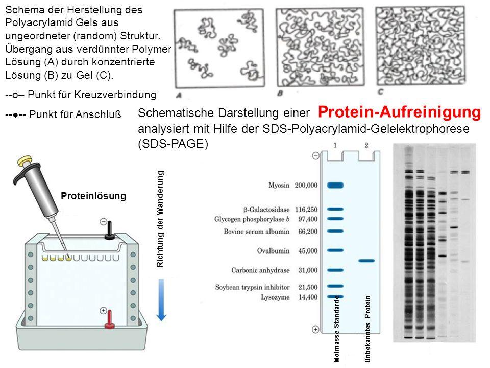 Schema der Herstellung des Polyacrylamid Gels aus ungeordneter (random) Struktur.
