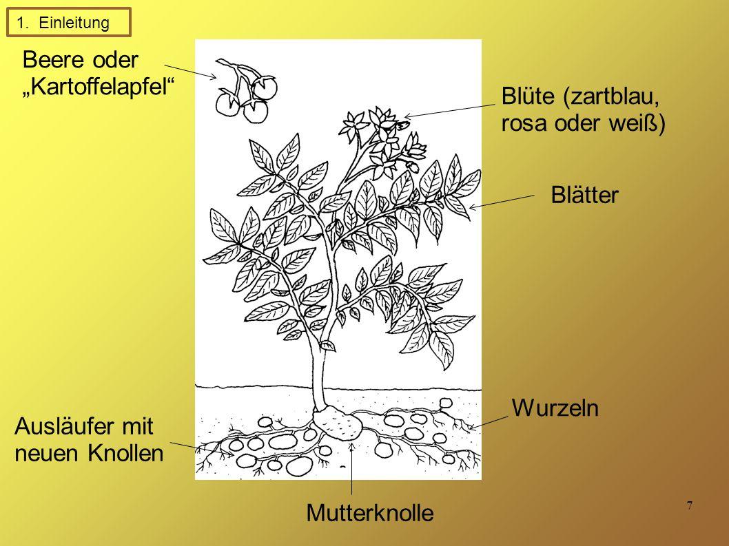 """7 Beere oder """"Kartoffelapfel Blüte (zartblau, rosa oder weiß) Blätter Mutterknolle Wurzeln Ausläufer mit neuen Knollen 1."""