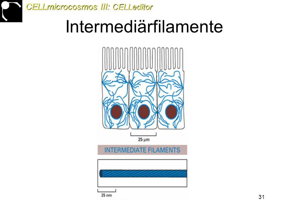 31 Intermediärfilamente CELLmicrocosmos III: CELLeditor