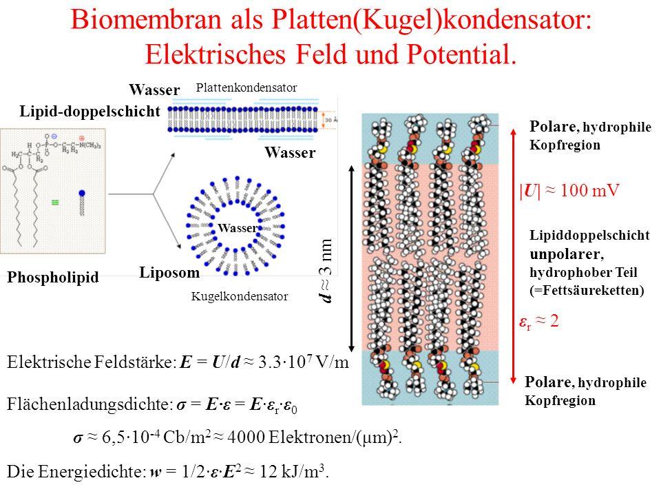 Biomembran als Platten(Kugel)kondensator: Elektrisches Feld und Potential.