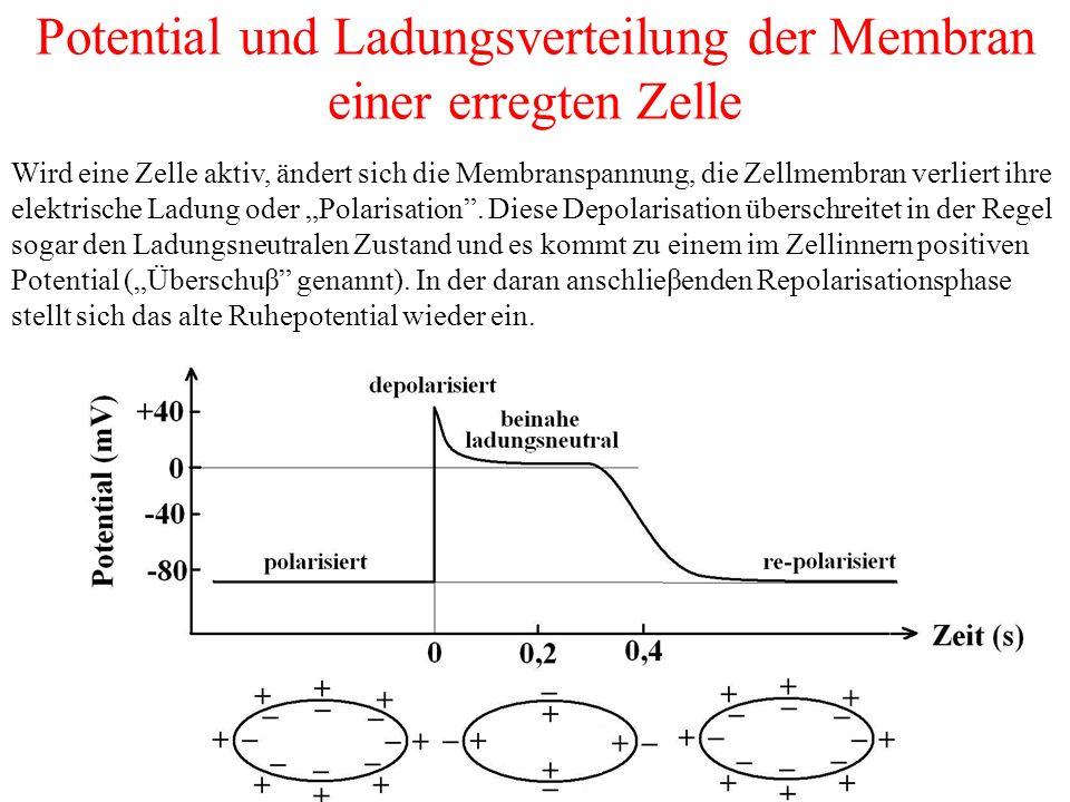 """Potential und Ladungsverteilung der Membran einer erregten Zelle Wird eine Zelle aktiv, ändert sich die Membranspannung, die Zellmembran verliert ihre elektrische Ladung oder """"Polarisation ."""