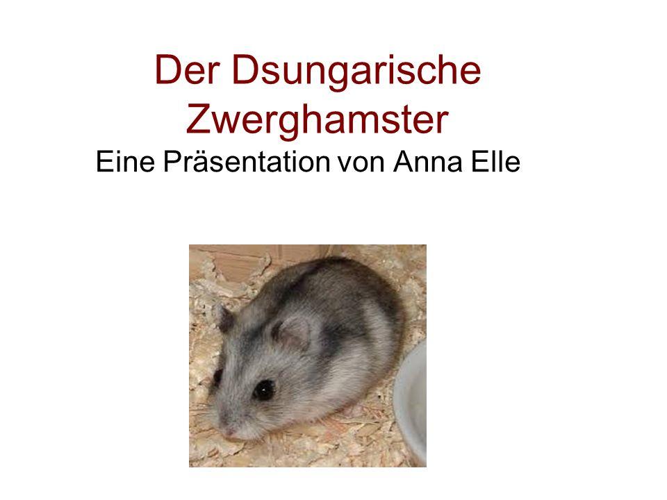 Der Dsungarische Zwerghamster Eine Präsentation von Anna Elle