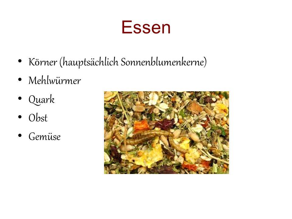 Essen K ӧ rner (hauptsächlich Sonnenblumenkerne) Mehlwürmer Quark Obst Gemüse