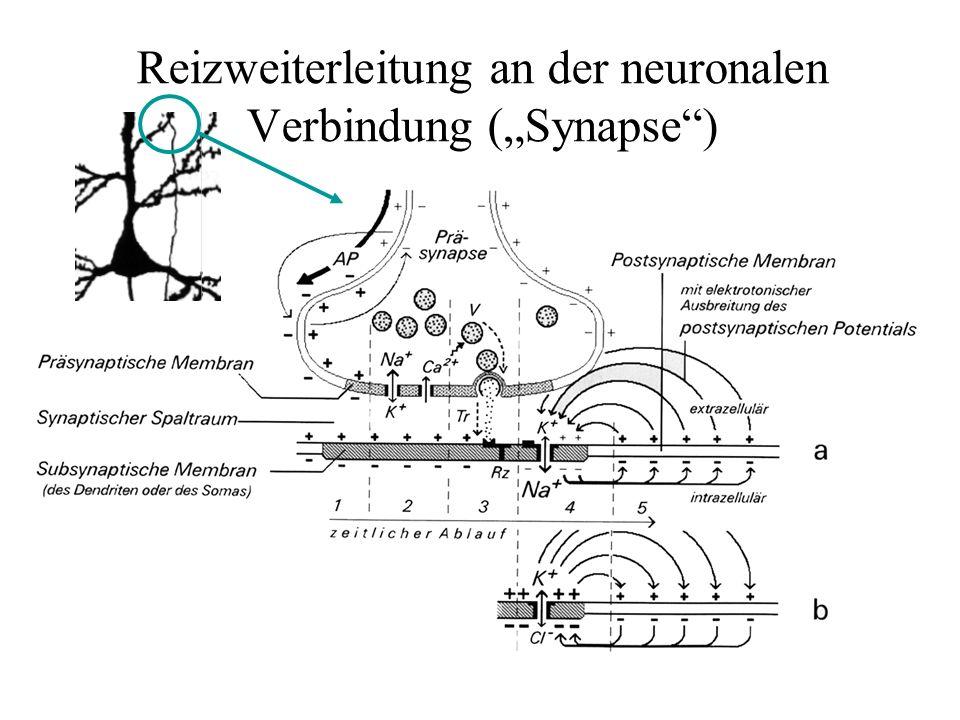 """Reizweiterleitung an der neuronalen Verbindung (""""Synapse"""")"""
