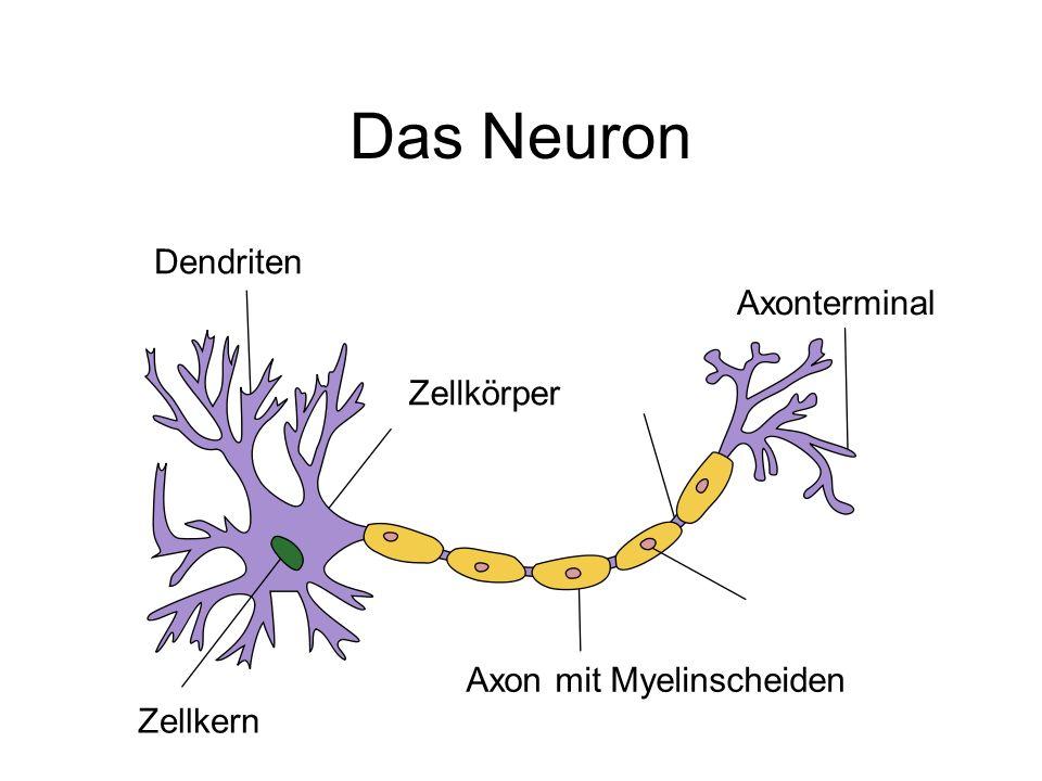 Das Neuron Dendriten Axonterminal Zellkern Zellkörper Axon mit Myelinscheiden