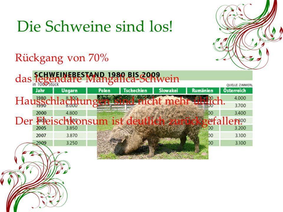 Die Schweine sind los! Rückgang von 70% das legendäre Mangalica-Schwein Hausschlachtungen sind nicht mehr üblich. Der Fleischkonsum ist deutlich zurüc