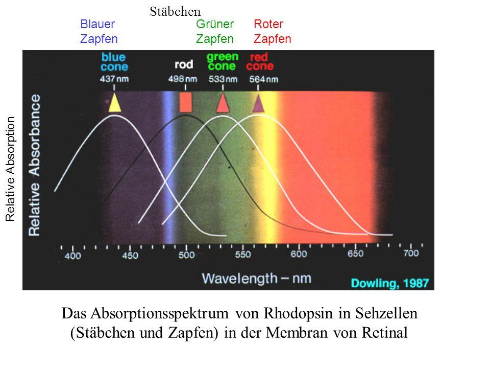www.isat.jmu.edu/users/klevicca/isat351/vision.ppt Das Absorptionsspektrum von Rhodopsin in Sehzellen (Stäbchen und Zapfen) in der Membran von Retinal Blauer Zapfen Grüner Zapfen Roter Zapfen Stäbchen Relatíve Absorption