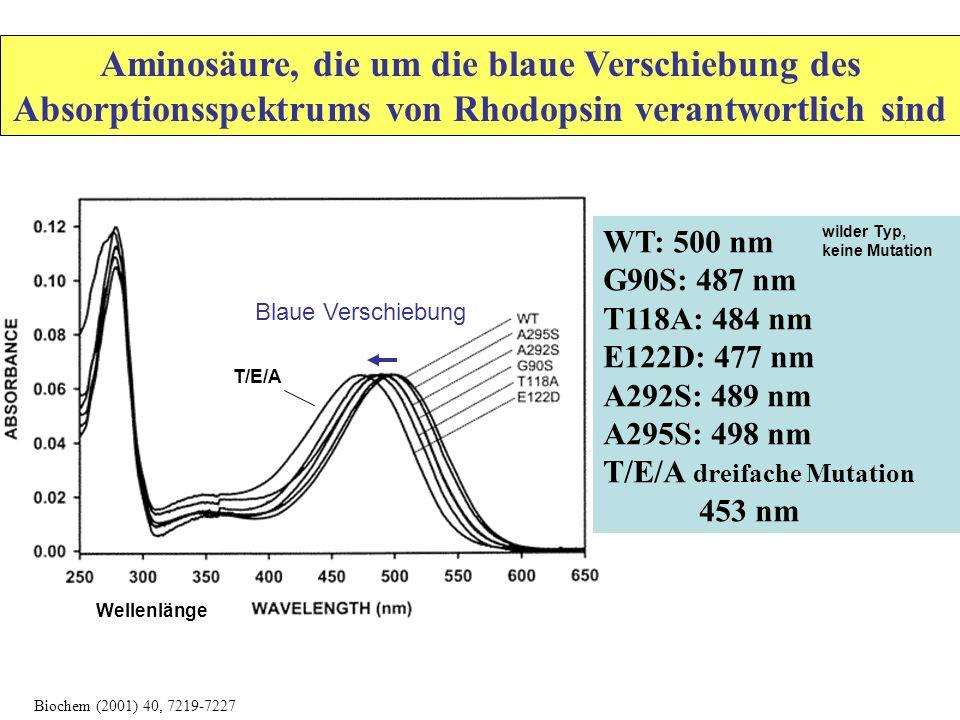 WT: 500 nm G90S: 487 nm T118A: 484 nm E122D: 477 nm A292S: 489 nm A295S: 498 nm T/E/A dreifache Mutation 453 nm Aminosäure, die um die blaue Verschiebung des Absorptionsspektrums von Rhodopsin verantwortlich sind Biochem (2001) 40, 7219-7227 Blaue Verschiebung T/E/A Wellenlänge wilder Typ, keine Mutation
