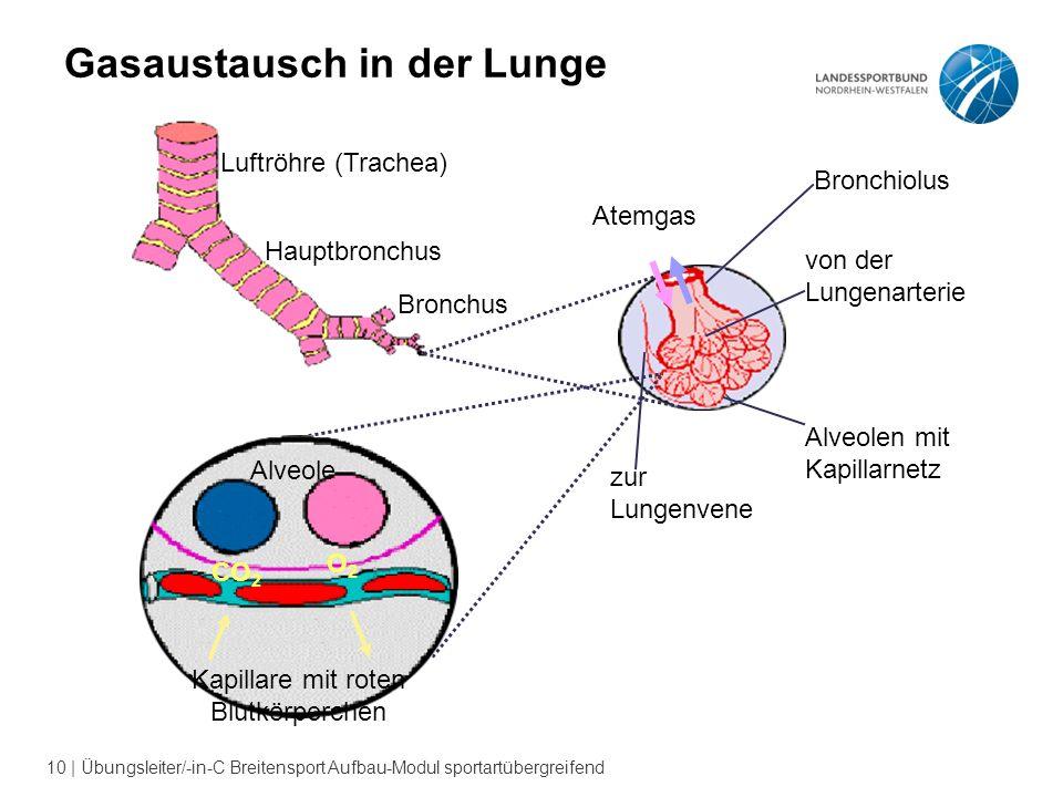 10 | Übungsleiter/-in-C Breitensport Aufbau-Modul sportartübergreifend Gasaustausch in der Lunge Luftröhre (Trachea) Hauptbronchus Bronchus Atemgas von der Lungenarterie Alveolen mit Kapillarnetz Bronchiolus zur Lungenvene Alveole CO 2 O2O2 Kapillare mit roten Blutkörperchen