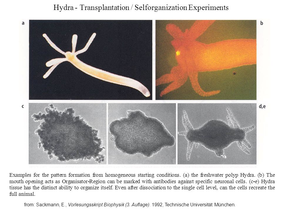 Hydra - Theoretical Models Experimental finding: Differenzierung des Kopfes wird durch 2 Sorten von Signalsubstanzen gesteuert: Aktivator + Inhibitor Aktivator: hydrophobic Polypeptid (1124 Da) - initiates head-specific growth / differentialization - stimulates cell division - triggers differentiation of neuronal cells - is stored in nerve cells and can be secreted from them - stimulates budding Inhibitor: hydrophil (500 Da) - inhibits secretion of activator and its owhn secretion (negative feedback loop) - blocks development (slows down head formation) - blocks Mitosis of specific cell types) (see: Schaller, H.C.