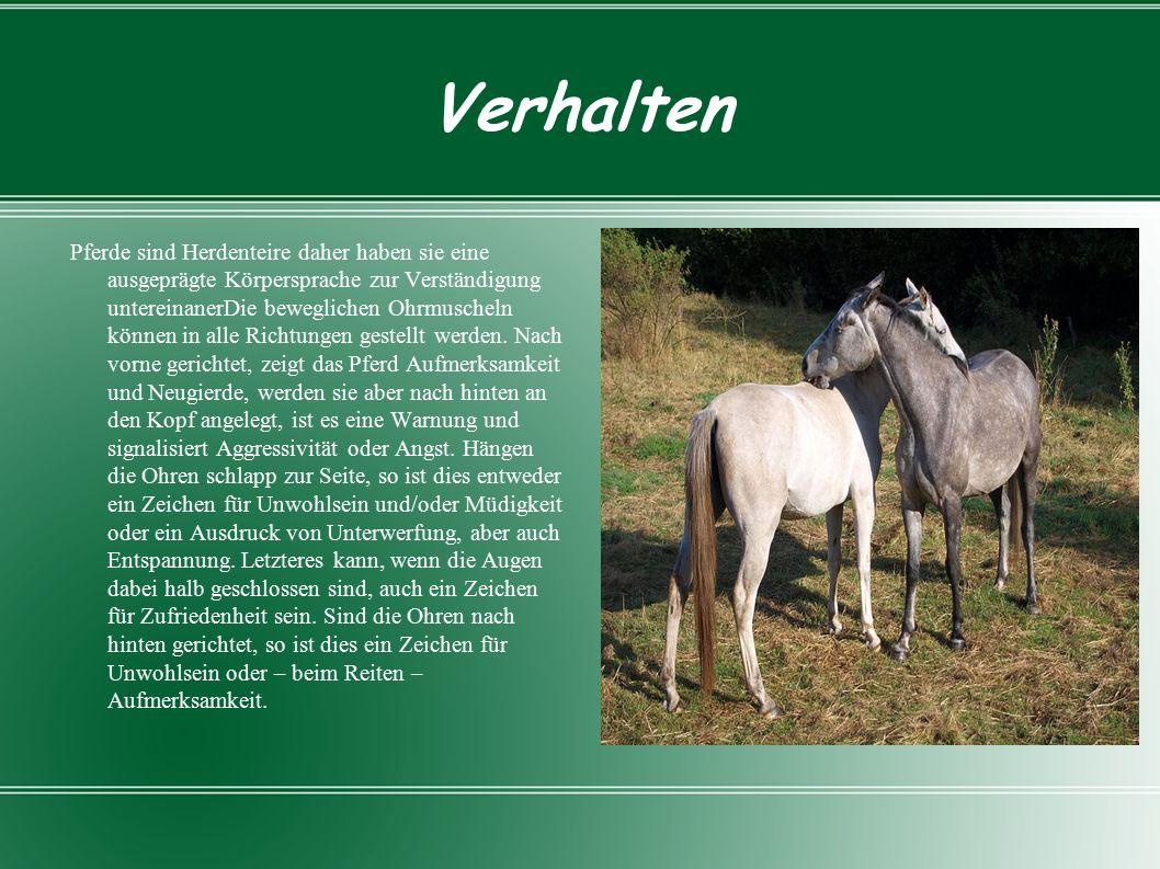 Verhalten Pferde sind Herdenteire daher haben sie eine ausgeprägte Körpersprache zur Verständigung untereinanerDie beweglichen Ohrmuscheln können in alle Richtungen gestellt werden.