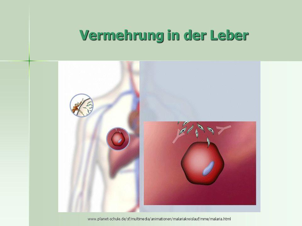 Vermehrung in der Leber www.planet-schule.de/sf/multimedia/animationen/malariakreislauf/mme/malaria.html