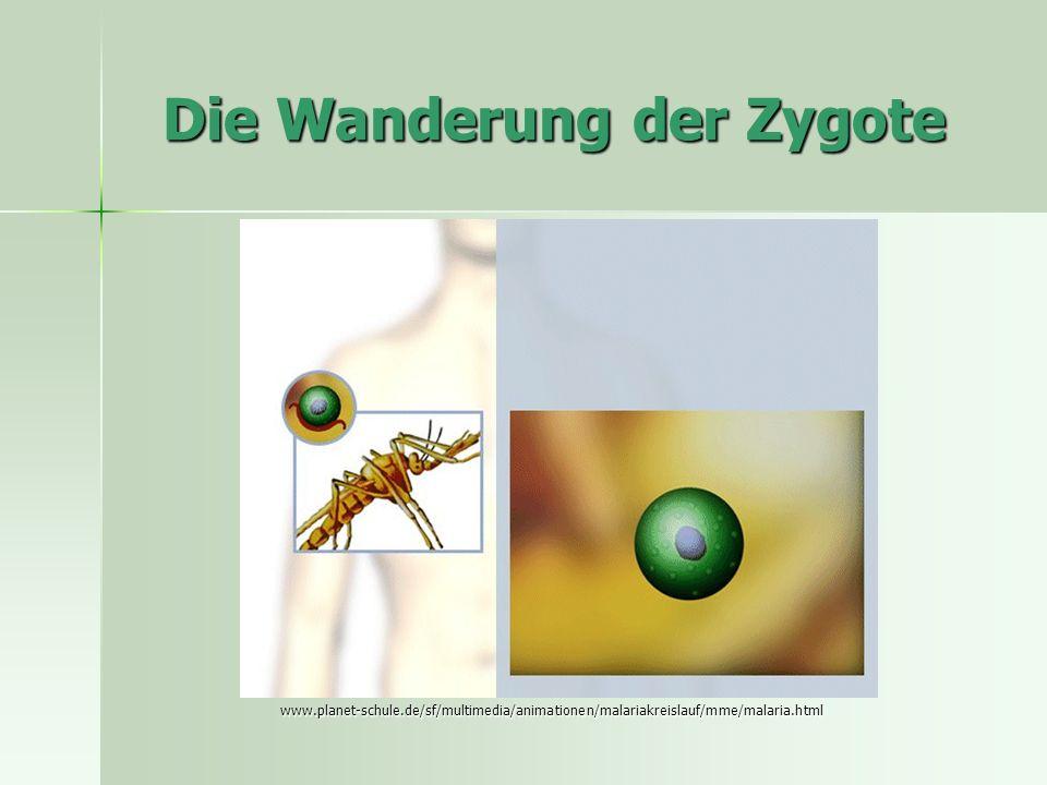 Die Wanderung der Zygote www.planet-schule.de/sf/multimedia/animationen/malariakreislauf/mme/malaria.html