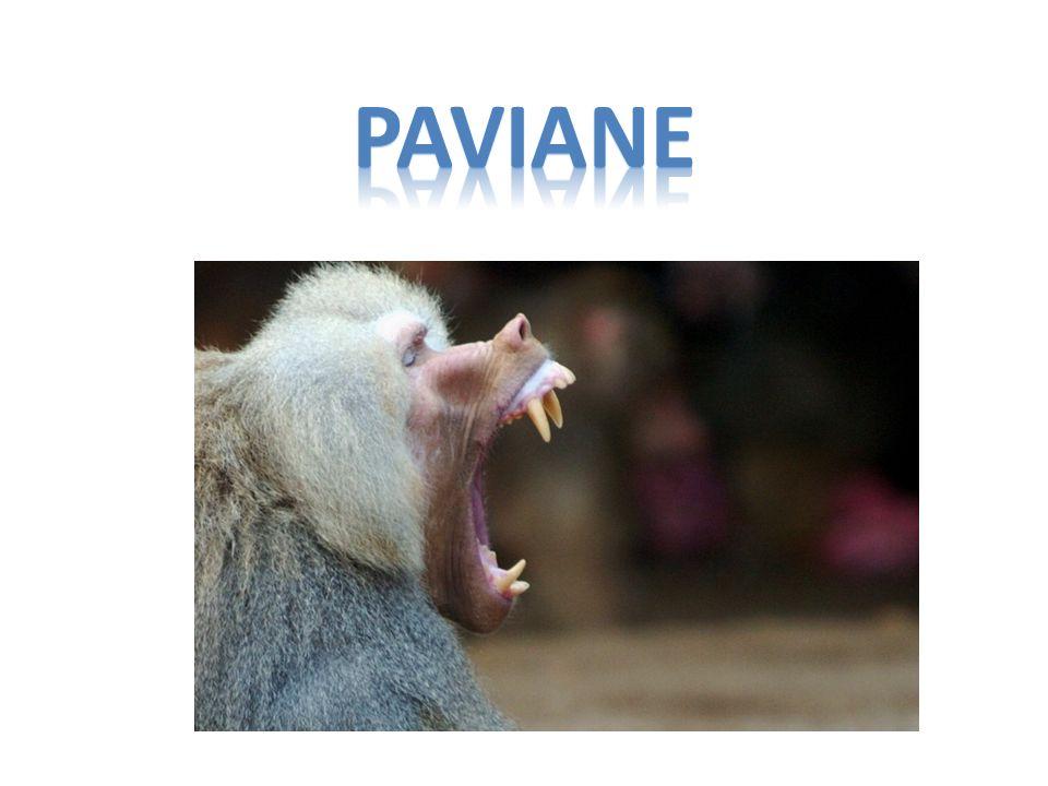 Steckbrief NAME LATEIN :Papio NAME :Pavian WOHNORT :Afrika KLASSE :Säugetier GRÖßE :50-100 cm GEWICHT :15-30 kg ALTER :20-30
