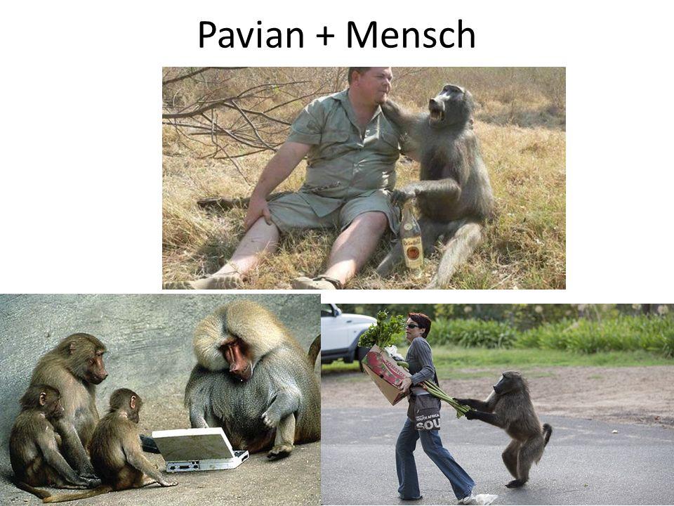 Pavian + Mensch
