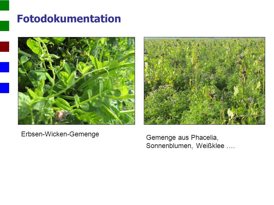Fotodokumentation Erbsen-Wicken-Gemenge Gemenge aus Phacelia, Sonnenblumen, Weißklee ….
