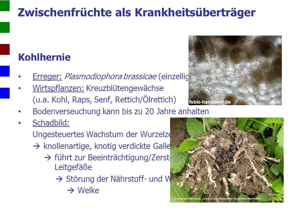 Kohlhernie Bekämpfung:  Anbaupausen (mind.