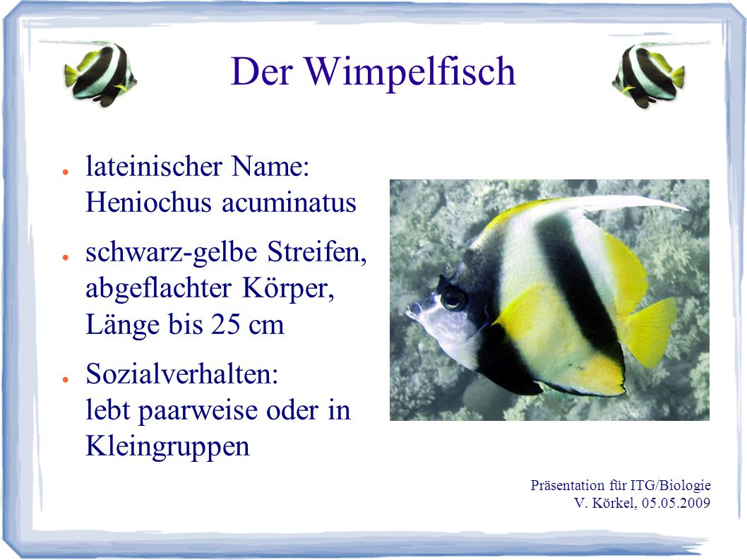 Der Wimpelfisch ● lateinischer Name: Heniochus acuminatus ● schwarz-gelbe Streifen, abgeflachter Körper, Länge bis 25 cm ● Sozialverhalten: lebt paarweise oder in Kleingruppen Präsentation für ITG/Biologie V.
