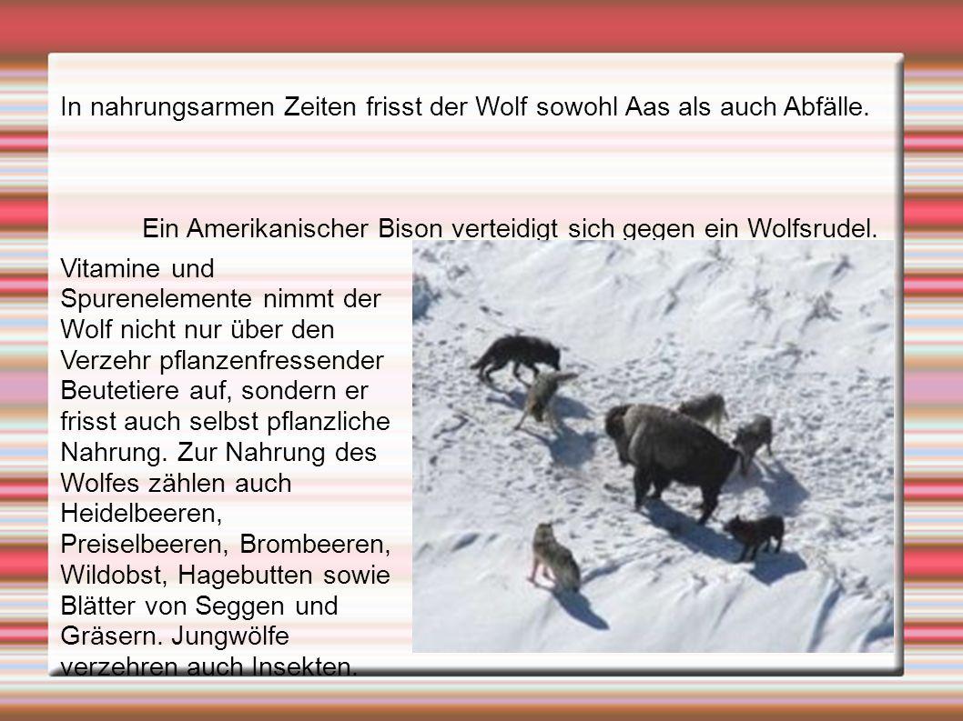 In nahrungsarmen Zeiten frisst der Wolf sowohl Aas als auch Abfälle.