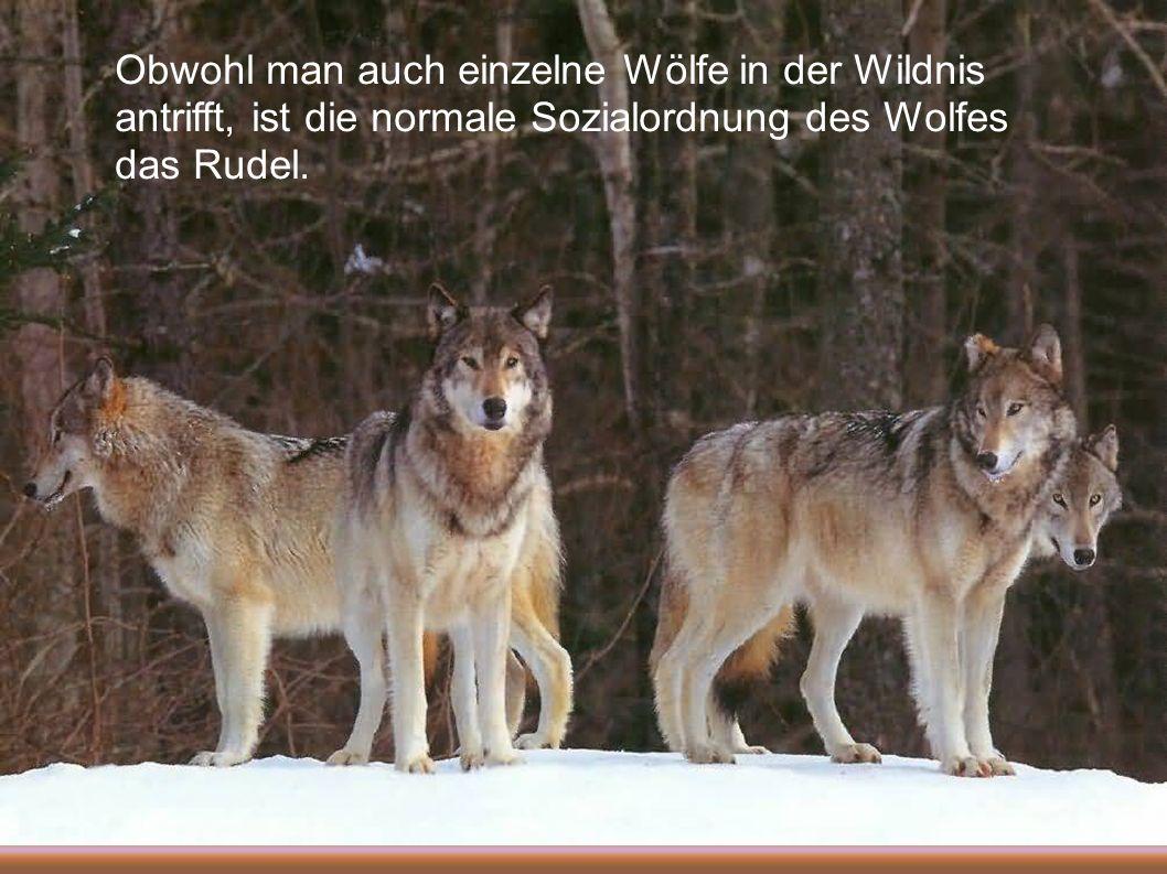 Obwohl man auch einzelne Wölfe in der Wildnis antrifft, ist die normale Sozialordnung des Wolfes das Rudel.