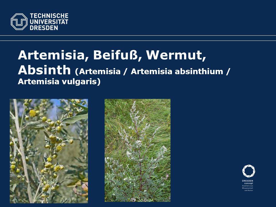 Artemisia, Beifuß, Wermut, Absinth (Artemisia / Artemisia absinthium / Artemisia vulgaris)