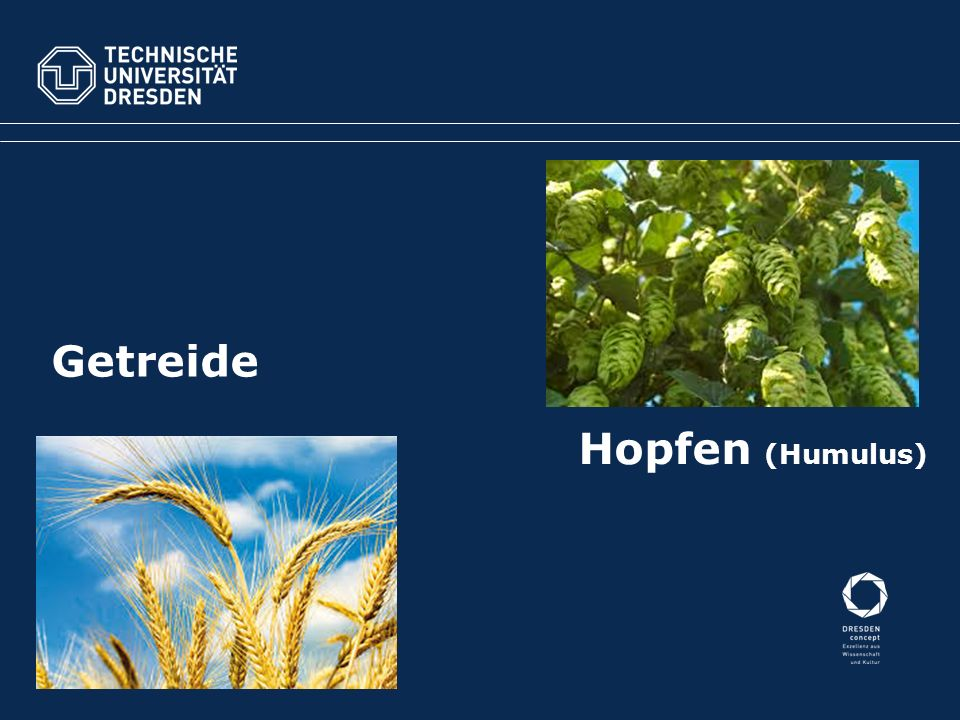 Hopfen (Humulus) Getreide