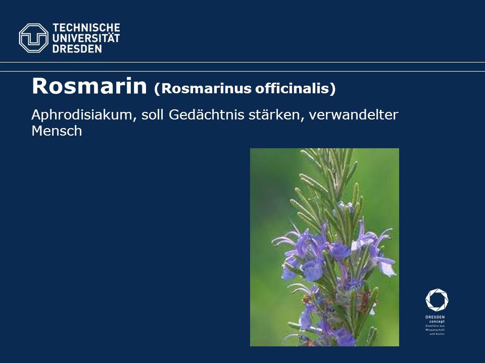 Rosmarin (Rosmarinus officinalis) Aphrodisiakum, soll Gedächtnis stärken, verwandelter Mensch