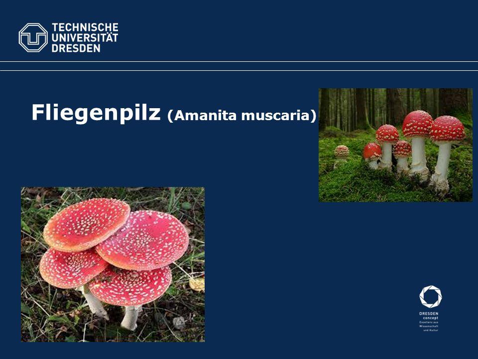 "Behangener Düngerling (Panaeolus papilionaceus) Teonanacatl (Psilocybe mexicana) ""Kröten-Pilz geweiht dem Kröten bzw."