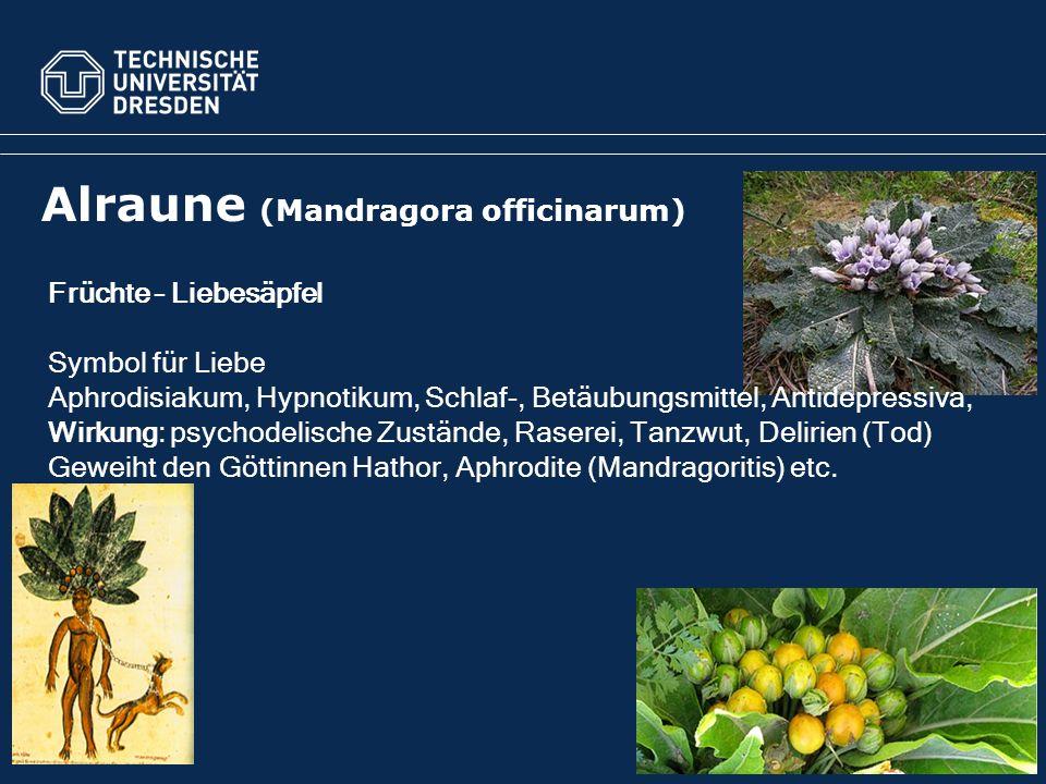 Myrte (Myrtus communis) Aphrodisiakum; öffnet Pforte zum Tod