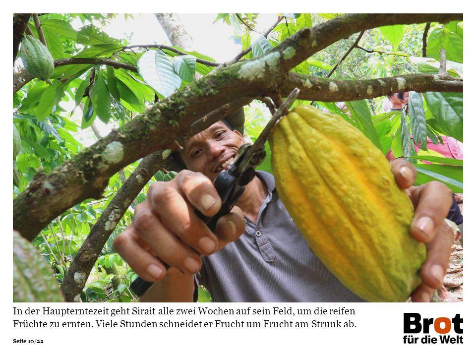 Seite 10/22 In der Haupterntezeit geht Sirait alle zwei Wochen auf sein Feld, um die reifen Früchte zu ernten.