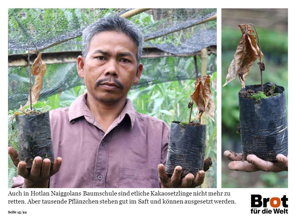 Seite 15/22 Auch in Hotlan Naiggolans Baumschule sind etliche Kakaosetzlinge nicht mehr zu retten.