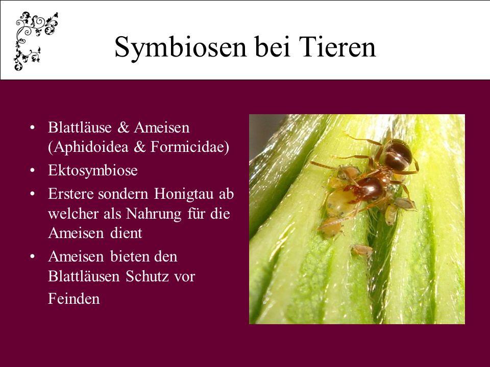 Symbiosen bei Tieren Blattläuse & Ameisen (Aphidoidea & Formicidae) Ektosymbiose Erstere sondern Honigtau ab welcher als Nahrung für die Ameisen dient Ameisen bieten den Blattläusen Schutz vor Feinden