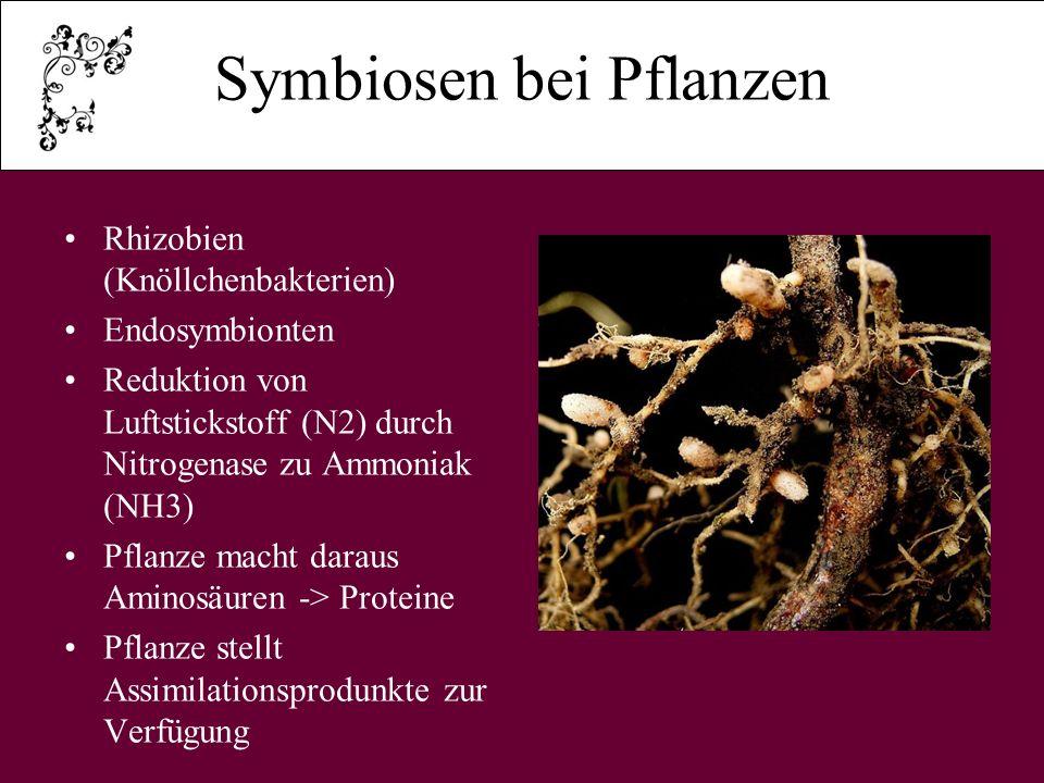 Flechten Symbiose von Pilzen und Algen Besondere Form Bilden Thallus aus Alge: - liefert Kohlen- hydrate Pilz: - liefert Wasser und Mineralstoff - schützt vor Tieren