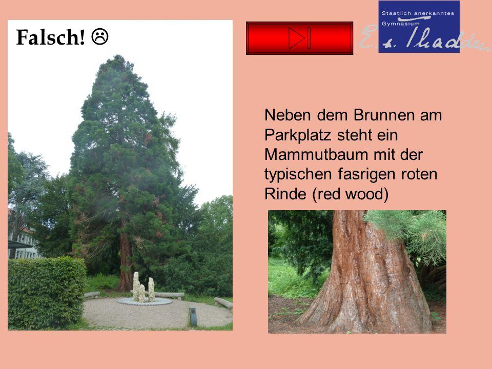 Neben dem Brunnen am Parkplatz steht ein Mammutbaum mit der typischen fasrigen roten Rinde (red wood) Falsch.